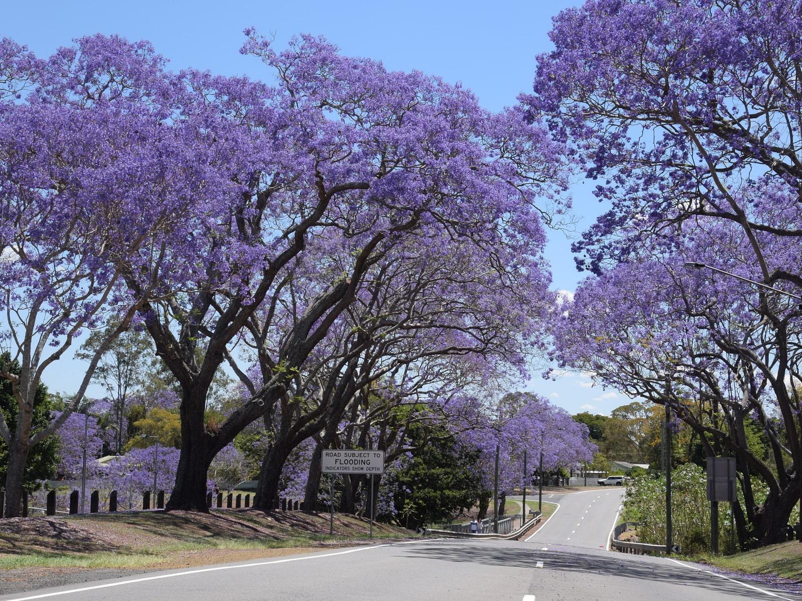 джакаранда фиалковое дерево