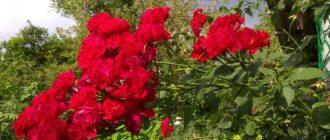 Как вырастить экологически чистые, деликатные и колючие розы без химии на своём огороде