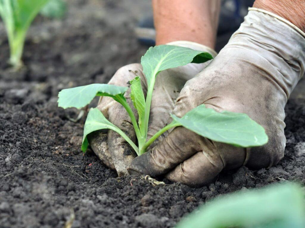 Когда высаживать раннюю капусту