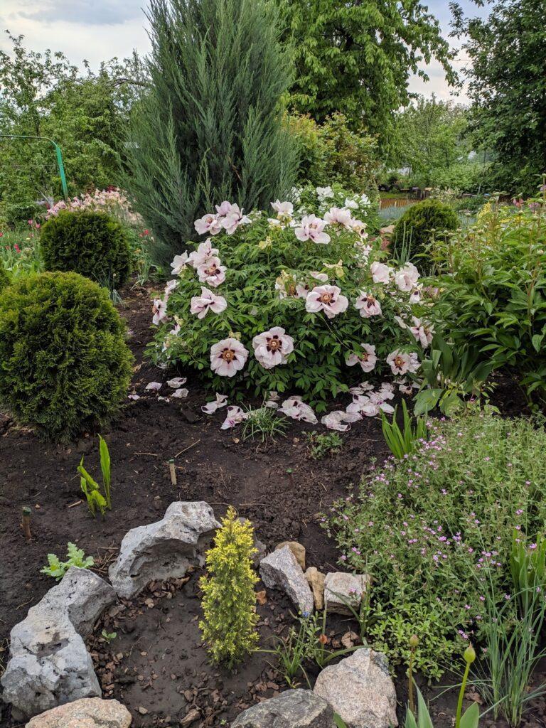 древовиный пион в саду (фото)