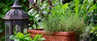 базилик растение фото