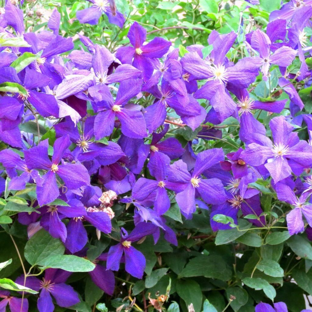 лиана клематис в цветении