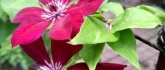 растение клематис описание