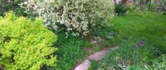 дёрен белый посадка и уход в открытом грунте