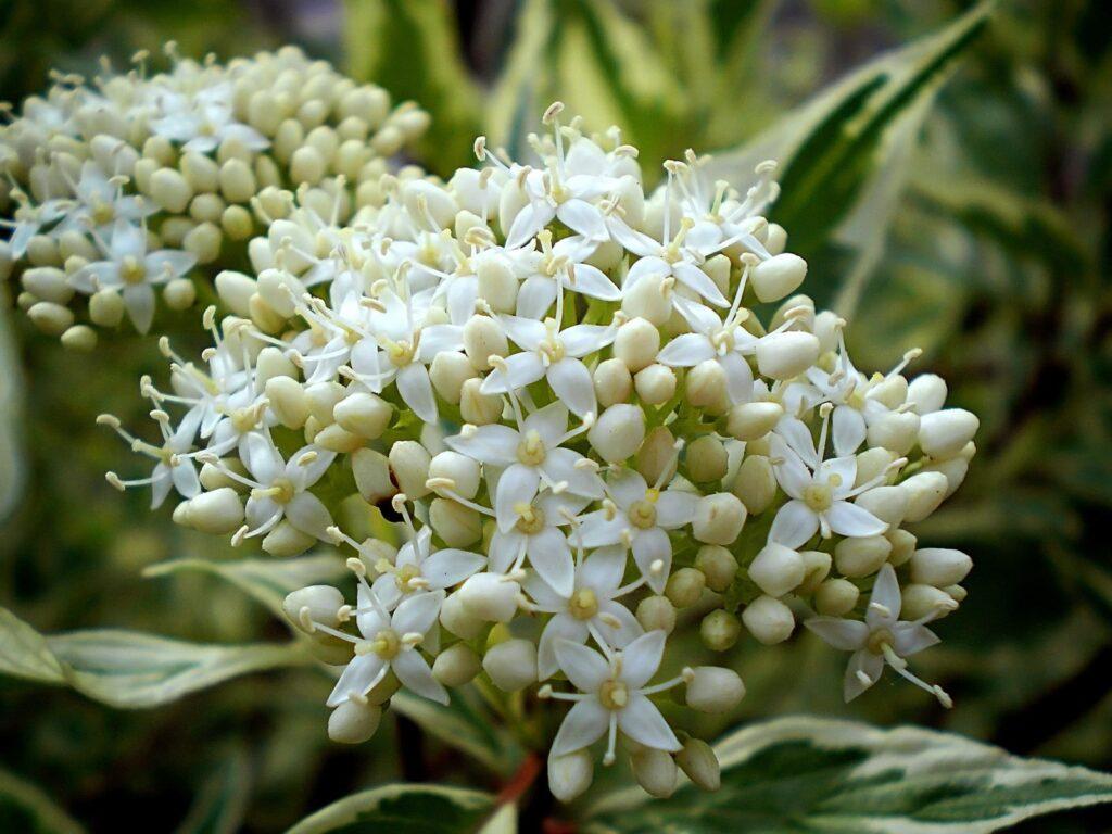 цветение дерена белого