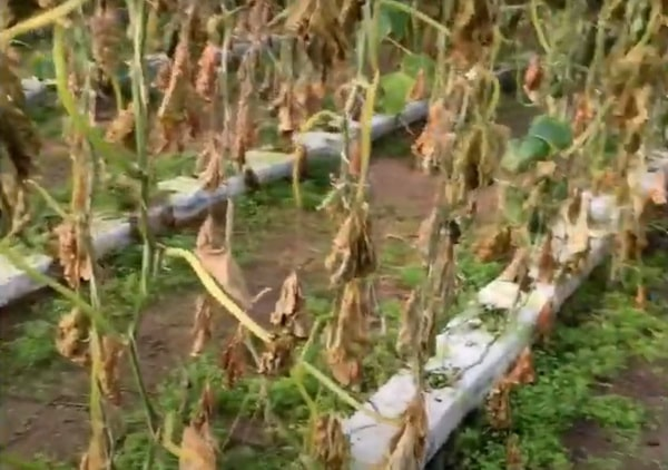 бактериоз листьев огурца