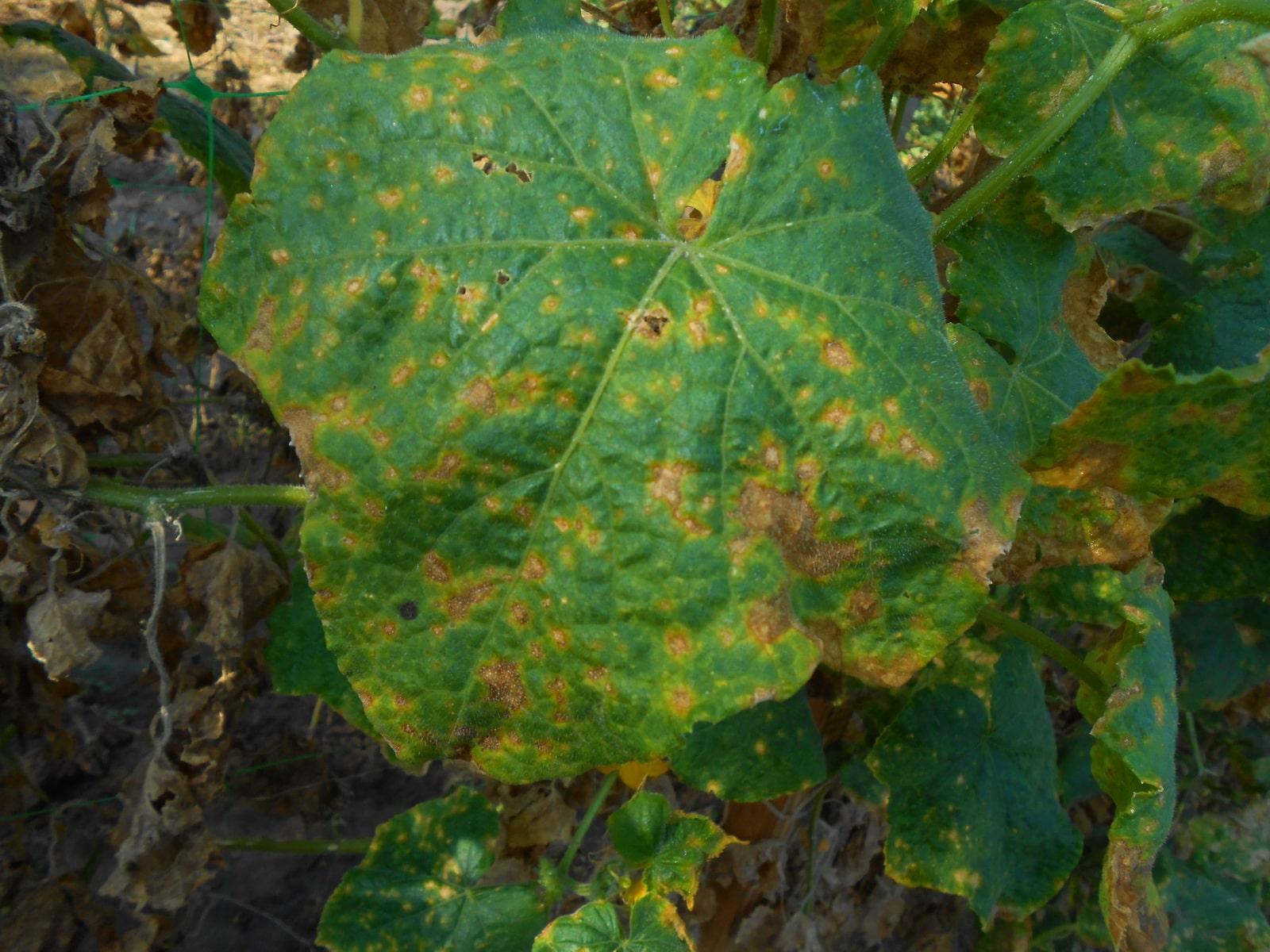 На огурцах ржавые пятна на листьях: причины и способы защиты