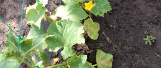 нужно ли у огурцов удалять нижние листья