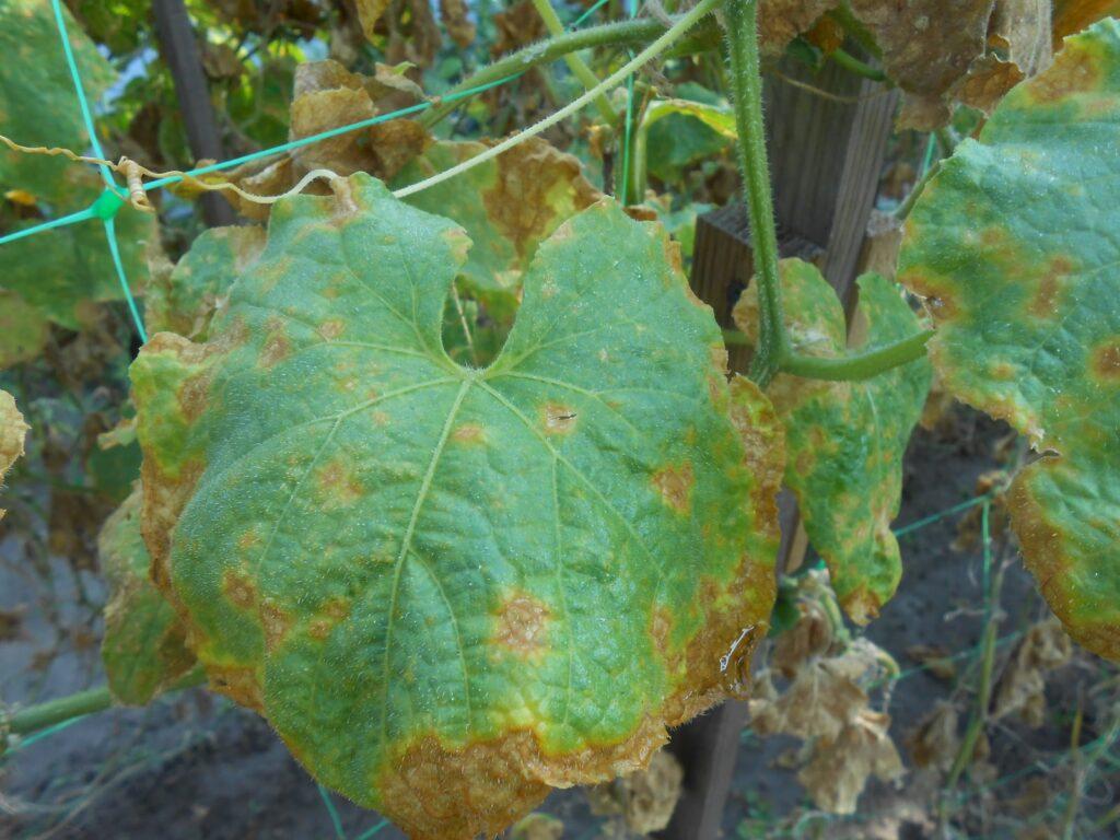 рыжие пятна на огуречных листьях