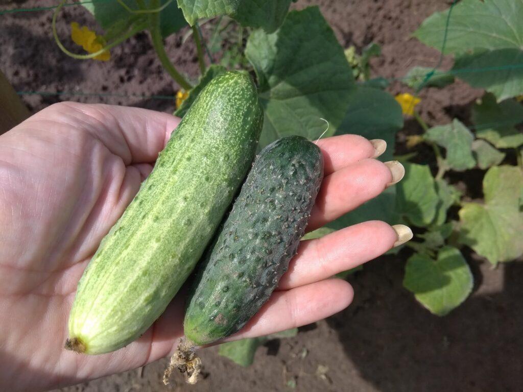 свои зеленцы с огорода